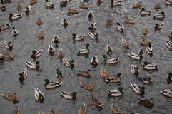 A group of ducks. Ducks swimming in a large group Royalty Free Stock Photography