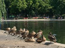 Group ducks bask in the sun. Group of wild ducks sit on the lakeside and bask in the sun Royalty Free Stock Image