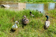 Group of ducks Stock Photography