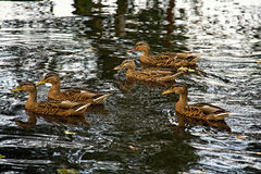 Group of ducks floating Stock Image
