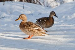 Group of ducks in forest. Group of wild ducks in snowy winter forest Royalty Free Stock Images