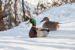 Group of ducks in forest. Group of wild ducks in snowy winter forest Stock Photography