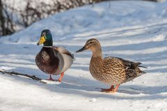 Group of ducks in forest. Group of wild ducks in snowy winter forest Stock Photo