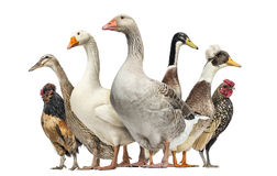 Group of Ducks, Geese and Chickens, isolated Royalty Free Stock Photo