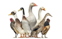 Group of Ducks, Geese and Chickens, isolated Royalty Free Stock Image