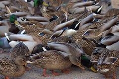 A group of Ducks stock photos