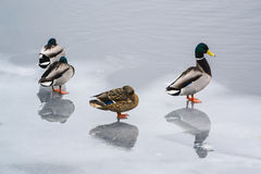 Group ducks on the ice in the river in winter. Dnepropetrovsk, Ukraine Royalty Free Stock Photography