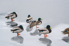 Group ducks on the ice in the river in winter I Royalty Free Stock Photo