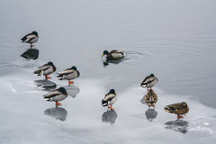 Group ducks on the ice in the river in winter II Stock Images