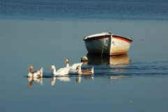 Group of ducks on the lake. Group of ducks swimming on the lake in front of a fishing boat royalty free stock images