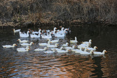 Group of ducks on lake Stock Images