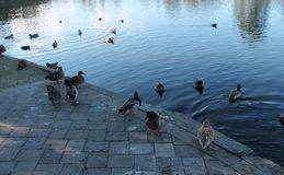 Group of Ducks At Lake Edge. Ducks on a sunny afternoon under blue sky in Virginia Lake, Whanganui gathered around the water`s edge royalty free stock photography