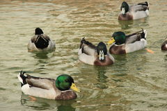 A group of Ducks in livestock farms Stock Photography