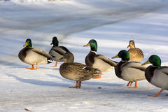 Group of ducks, the males and females in the snow in the Park. Feathers, nature, North Royalty Free Stock Images