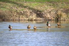 Group of mallard ducks during the spring thaw. A group of ducks mallard contemplates the thaw of the water in spring. They are finally going to be able to swim Stock Photo