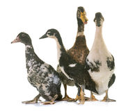 Group of ducks Stock Images