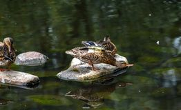 Group of ducks playing on rocks in water. A brown duck preening on a rock in a pond reflected in the water with another duck in the background Stock Photography