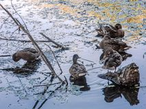 A group of ducks in the pond. Female. stock photo