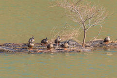 Group of ducks preening. On a man made island in the middle of a river Stock Photos