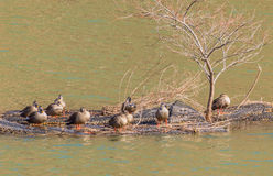 Group of ducks preening. On a man made island in the middle of a river Stock Images
