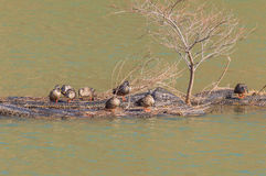 Group of ducks preening. On a man made island in the middle of a river Stock Photography
