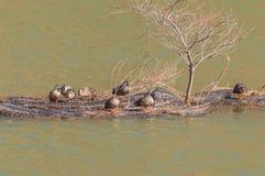 Group of ducks preening Stock Photography