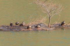 Group of ducks preening. On a man made island in the middle of a river Royalty Free Stock Photo