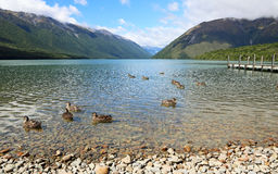 Group of ducks on Rotoiti Lake Stock Photography