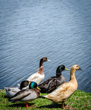 Group of ducks Royalty Free Stock Images