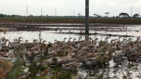 Group of Ducks Running over Muddy Water Filled Field Royalty Free Stock Photo