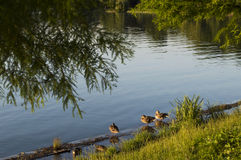 Group of ducks sitting on the shore. Group of ducks sitting on the lake shore in a summer sunny day Royalty Free Stock Photography