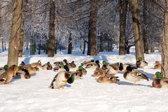 Group of ducks on snow Royalty Free Stock Photos