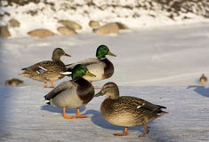 Group of ducks, some birds, females and males in the snow, the s. Hore of a frozen river in Sunny day Stock Images