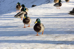 Group of ducks, some birds, males running in the snow. Sunny day, shadow Stock Photography