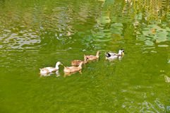 A group of ducks Stock Image