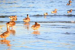 Ducks at the Bays Edge at Sunrise Stock Images
