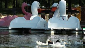 Pedal boat with the shaoe of ducks while ducks swim near. While a group of ducks swim near pedal boats the peace on earth is restore and balance human-technology stock footage