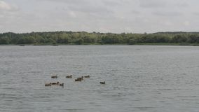 Group of ducks swimming across lake in slow motion, forest on horizon, cloudy summer day stock footage