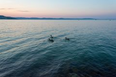 A group of ducks swimming in the Balaton Lake in the evening in Hungary stock photos