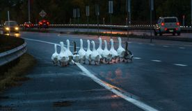 Danger Ahead: Ducks About to Cross the Street. A Group of Ducks About to Cross the Street on a Highway stock images
