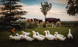 A group of ducks. White farm ducks feeding on green grass royalty free stock photography
