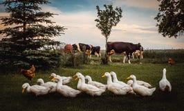 A group of ducks. White farm ducks feeding on green grass Royalty Free Stock Photography