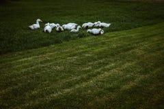 A group of ducks. White farm ducks feeding on green grass Stock Photography
