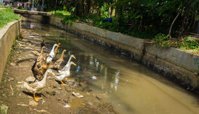 Group of ducks will cross the dirty river photo taken in dramaga bogor indonesia Stock Image