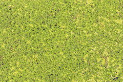 Group of duckweed. On water royalty free stock image