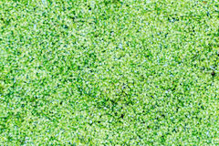 Group of duckweed Stock Image