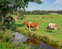 Group of Dutch grazing cows in a field along a canal royalty free stock photo