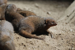 Group of Dwarf Mongooses Digging Holes Royalty Free Stock Image