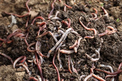 Group of earthworms in the earth. A horizontal picture Royalty Free Stock Photo