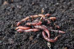 Group of earthworms stock images